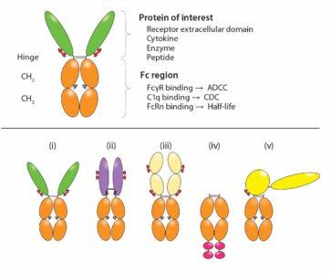 Published Articles – Immunoglobulin Fc-Fusion Proteins